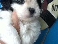 We have a beautiful new liter of Lhasa poo Puppies that