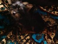 available now Female Morkie- 3/4 yorkie, 1/4 Maltese