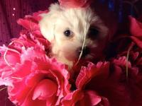 beautiful snow white maltese female 8 weeks old with