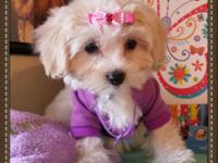 MALTIPOO. Lovely and cuddly, the Maltipoo is an