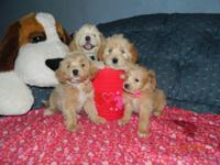 Cute Maltipoo Puppies searching for a brand-new home. I