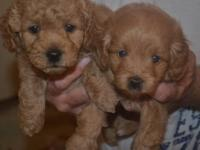 Adorable 2nd generation minature goldendoodles. Mom is