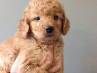We have one adorable mini goldendoodle male puppy