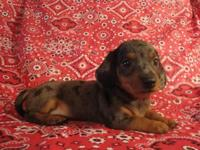 We have 3 adorable miniature dachshund young puppies