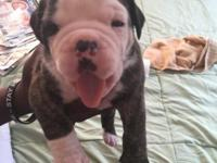 For sale pet quality Olde English Bulldog Puppies will