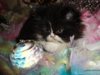Only one left Persian Kittens. Black & & White Female.