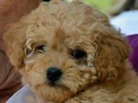 We have one very petite miniature goldendoodle female
