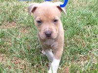 Pitbull puppies ready for their new home! Dad is an
