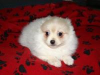I have a lovable creme, male Pomeranian Puppy that is