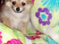 We only have 2 Pomeranian puppies left, one male and