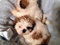I have 3 pre-spoiled CKC shih tzu puppies ready for