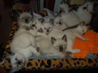 Absolutely beautiful Purebred Siamese kittens. 5