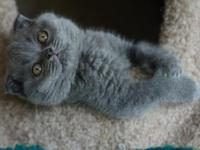 The adorable scottish fold kittens are ready to go a