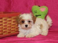 Adorable Shih Tzu/Poodle puppies ready for their new