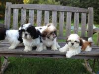 UPDATE- ONE FEMALE LEFT I have Shih Tzu Puppies