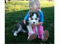 Adorable blue-eyes, black and white Siberian Husky