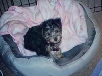 Adorable silky poo is available and looking for a