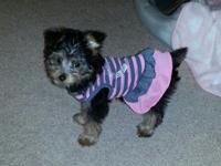 Adorable silky poo is in need of a lovable home that
