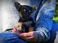 We have Available 1 beautiful Chorkie puppy, had a