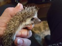 Adorable baby hedgehogs $225 to $250 each Please feel