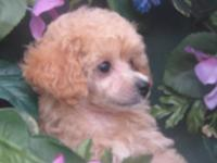 We have some beautiful poodles who are ready for their