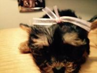 Teacup YorkiePoo's for sale, 3 girls & 1 boy. D.O.B.