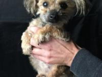 Lovable 4.5 pound female Yorkie-Poo, great with kids