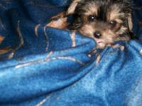 We have one last tiny, tiny morkie male puppy left.