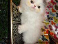 I have 2 male Persian kittycats. They are van color.