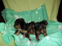 I have 3 magnificently playful male Yorkie-Poo puppies