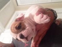 Adorables AKC English Bulldogs puppies, ready for