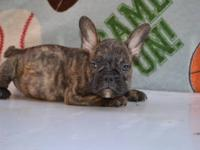 Adorables French bulldogs puppies, pups up to date on