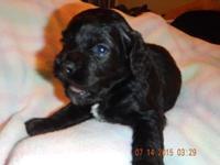Beautiful little black girl born on June 18. Ckc
