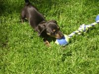 .Adorable Mini Dachshund Puppies available, 2 smooth