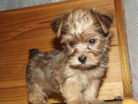 This is Ellie Mae a cute yorkie-poo female she has a