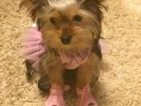 Chloe is a lovely 6 month old Yorkie pup. She will