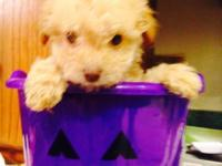 Adorable , purebred, AKC registered toy poodle puppies