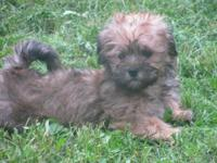 Teddy is male Shorkie with a sweet face and sweeter