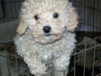 I have a 10 week old female mini poodle. She is utd on