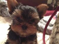 CKC Registered Yorkie Puppies. 1st shots Vet Health