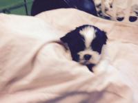 Beautiful shiu Tzu female.  She is adoreable.