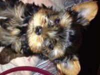 Definitely Adorable CKC Registered Yorkshire Terrier