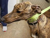 My story The x-racing Greyhounds are being fostered in