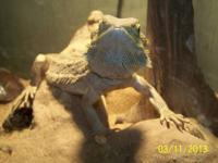 Three Very tame Adult Bearded Dragon Lizards. Males and