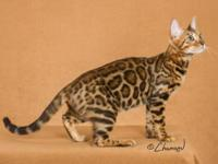 BoydsBengals, a TICA Outstanding Cattery, is retiring