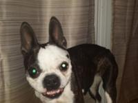Small female Boston Terrier, done breeding her and want