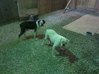 I have a white female and a reverse brindle male free
