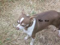 i have some Adult Chihuahuas needing good forever homes