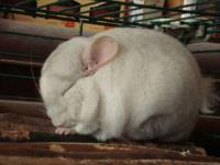Rescued Chinchillas Need Homes. Over the last few