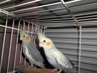 I have a selection of adult cockatiels for sale or